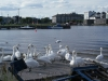 Swans on the Claddagh