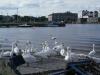 Swans on the Claddagh